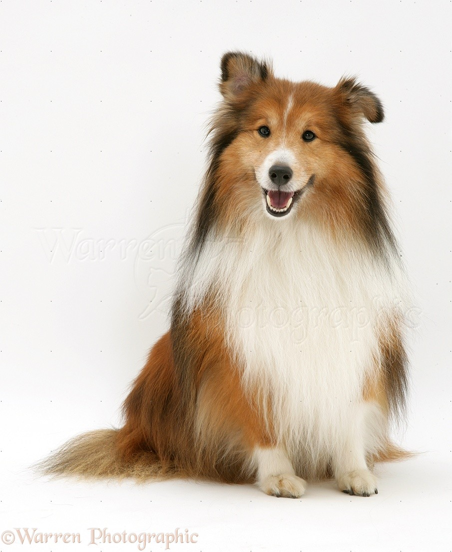 shetland sheepdog sheltie photo   wp13165