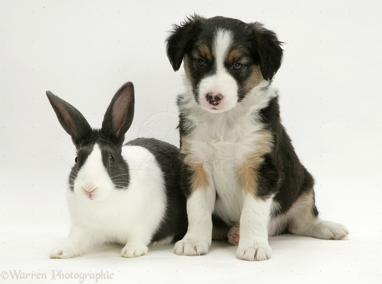 Tricolour Border Collie pup with blue Dutch rabbit photo - WP13173