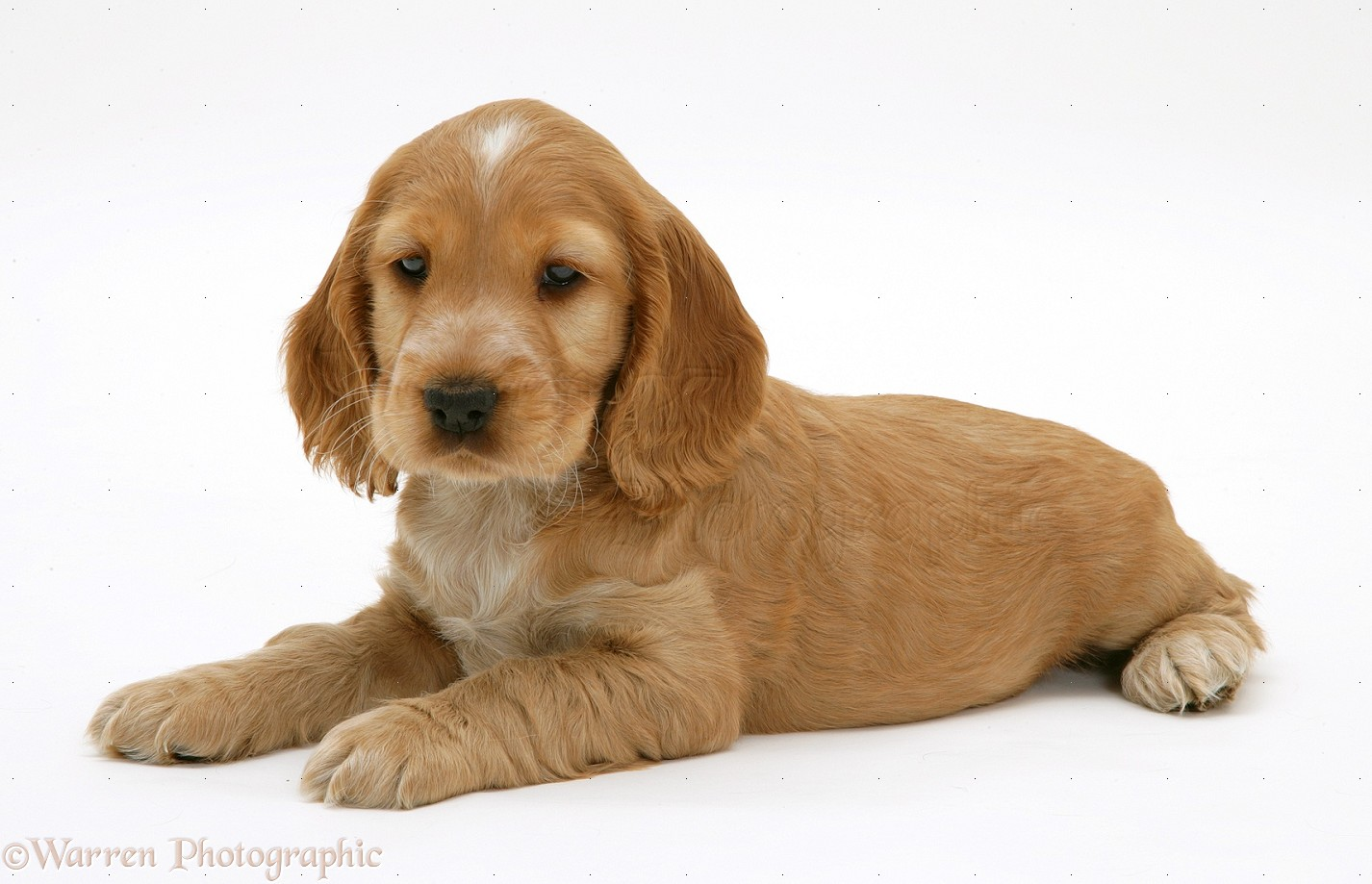 Golden Cocker Spaniel puppy photo - WP13174