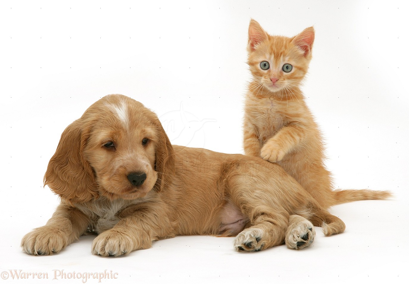 Pets Golden Cocker Spaniel Puppy And Ginger Kitten Photo Wp13176
