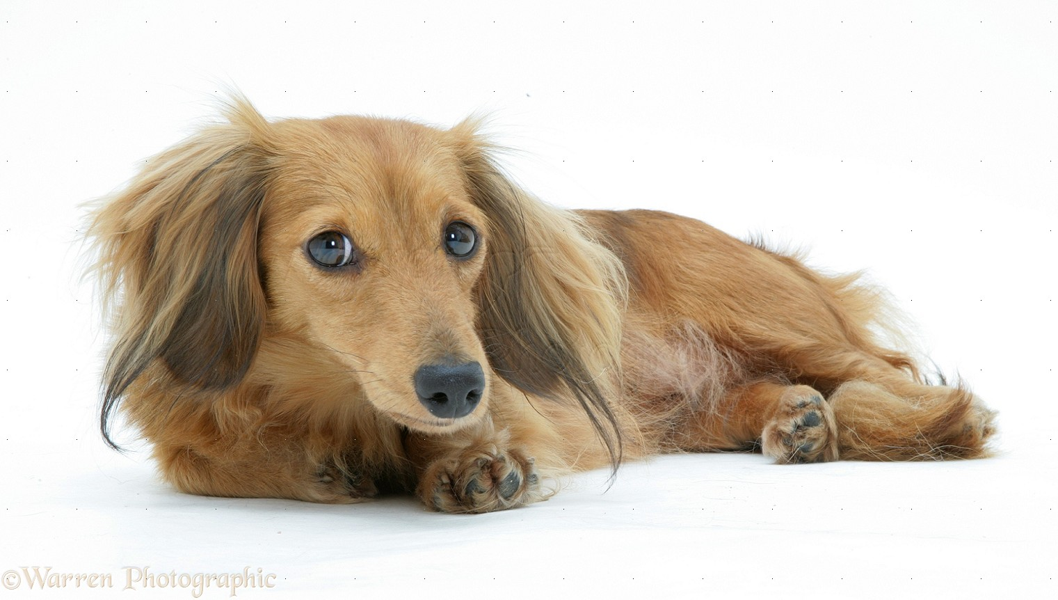 Dog Dachshund Lying Down Photo Wp13195