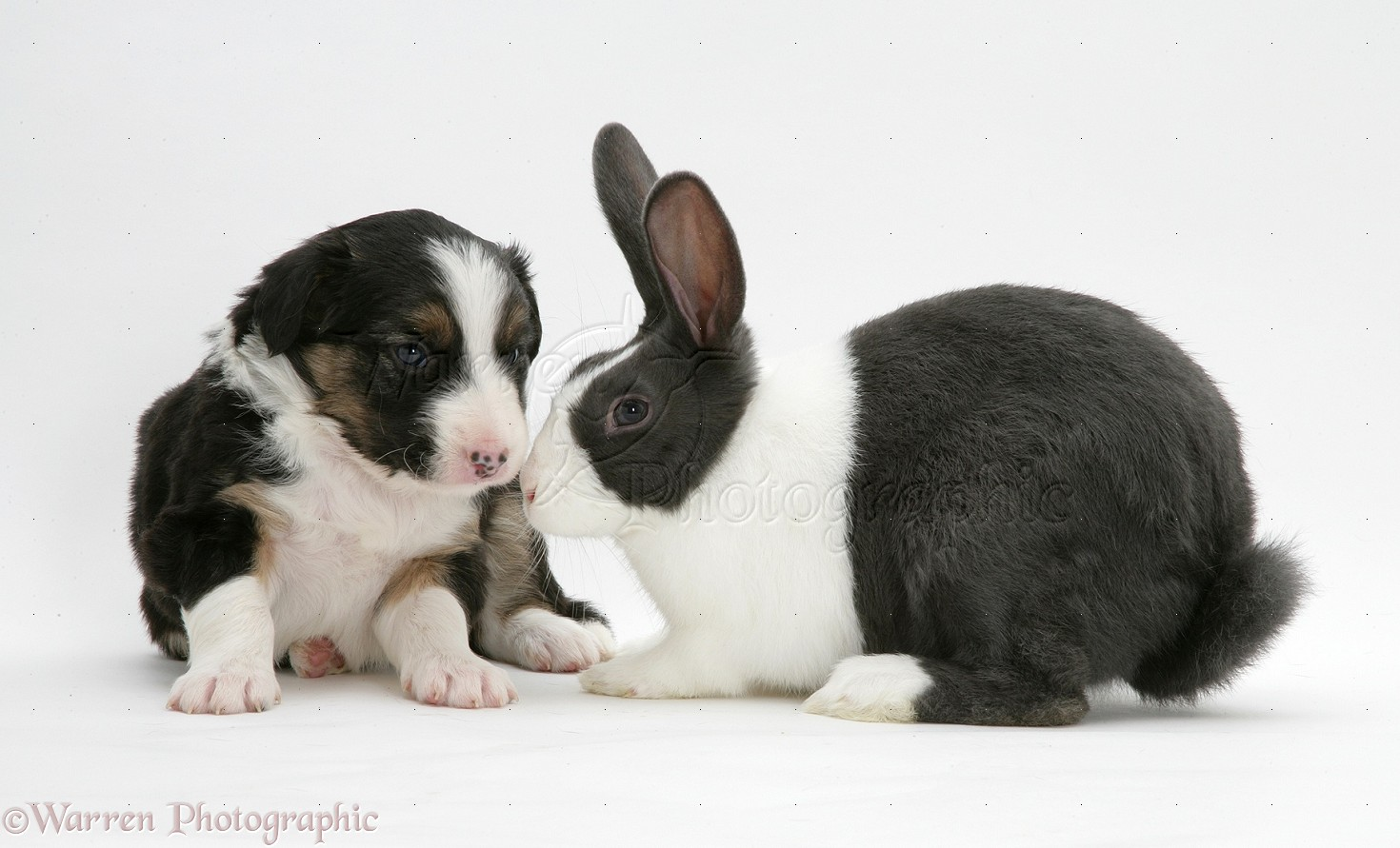 Tricolour Border Collie pup with blue Dutch rabbit photo - WP13204