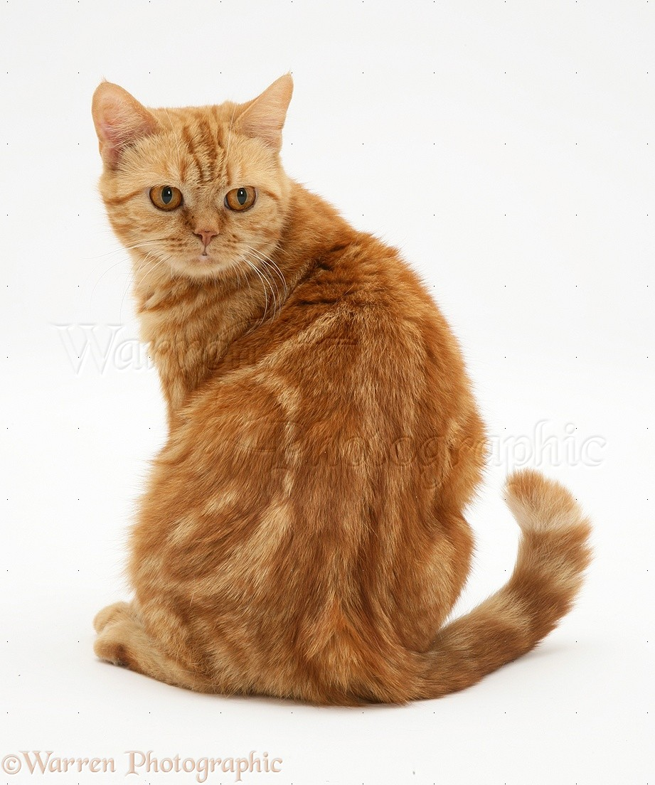 British Shorthair Red Tabby Cat Looking Round Photo Wp13236