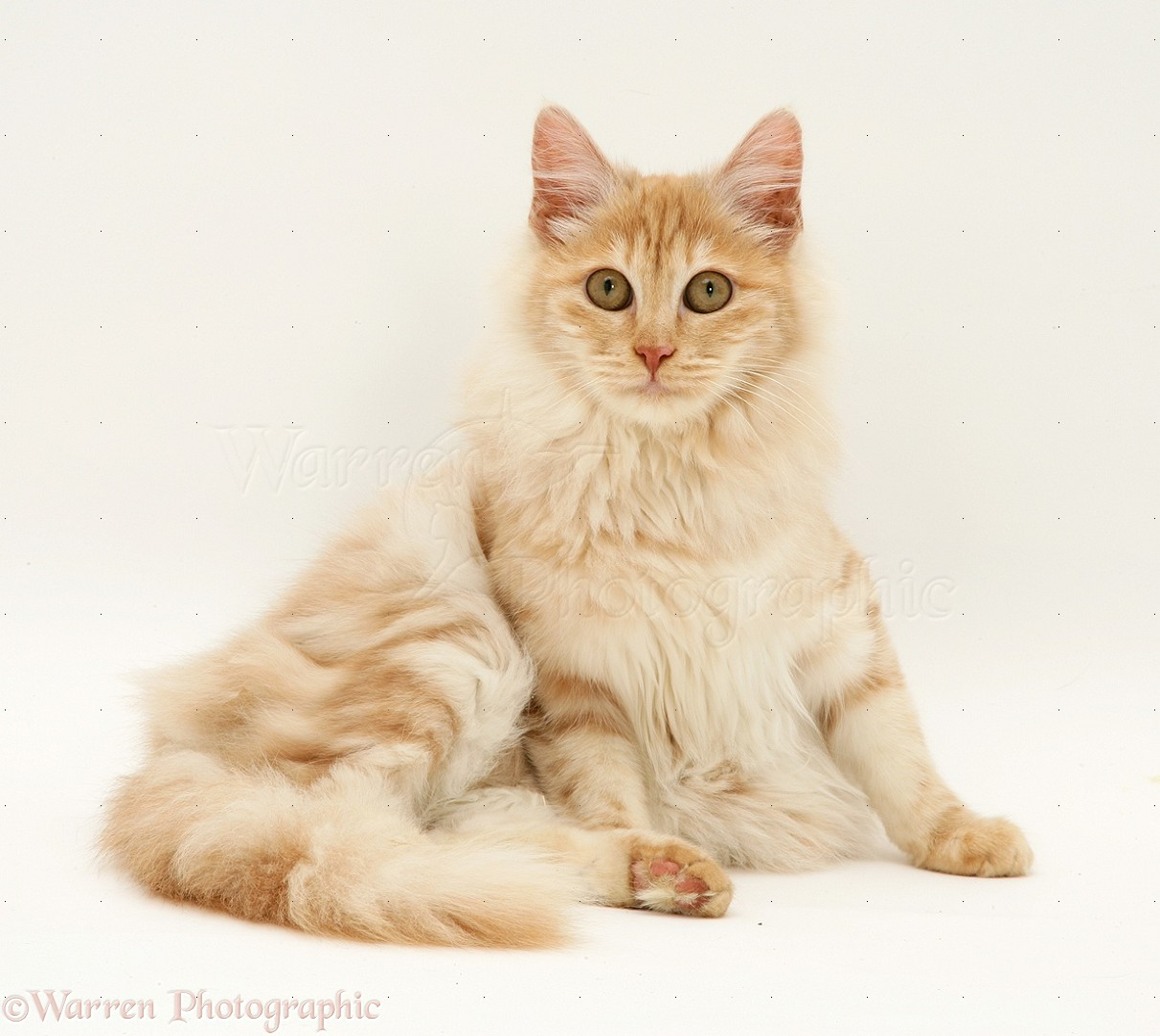 Red Silver Turkish Angora Cat Photo Wp13242