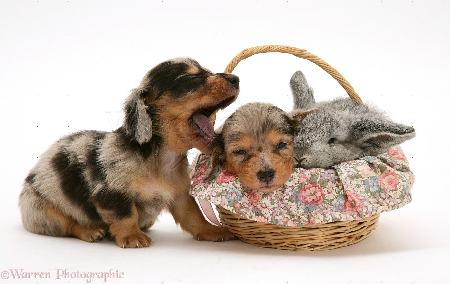 Dachshund and pet rabbit