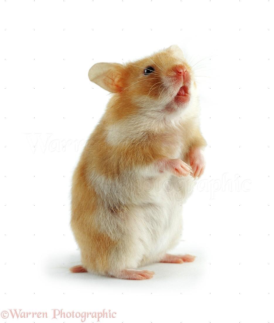 Golden hamster white - photo#3