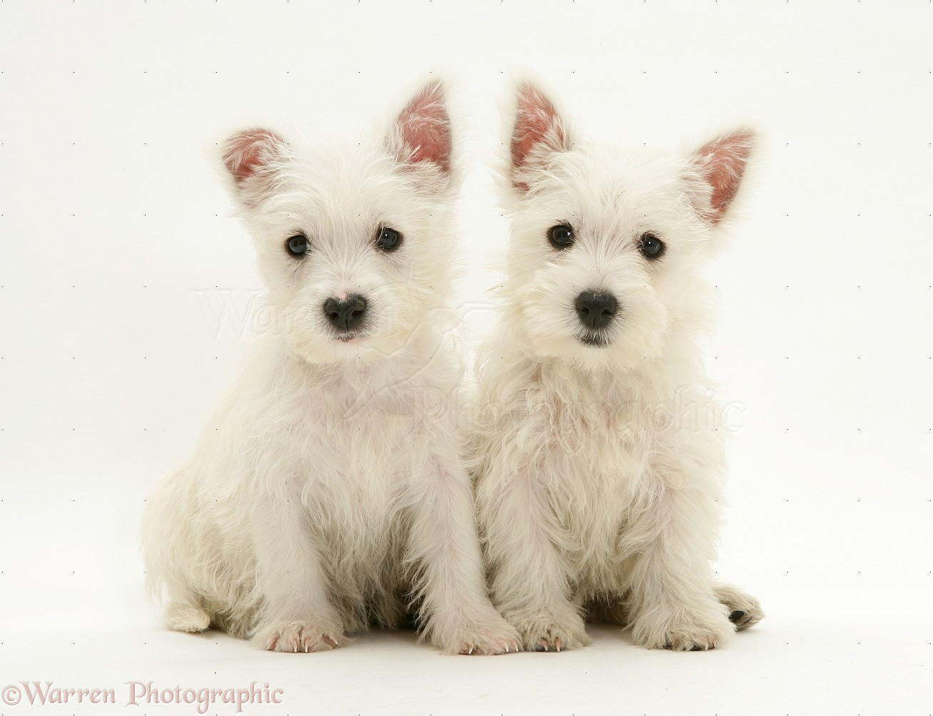 Dogs: Westie pups photo - WP13403
