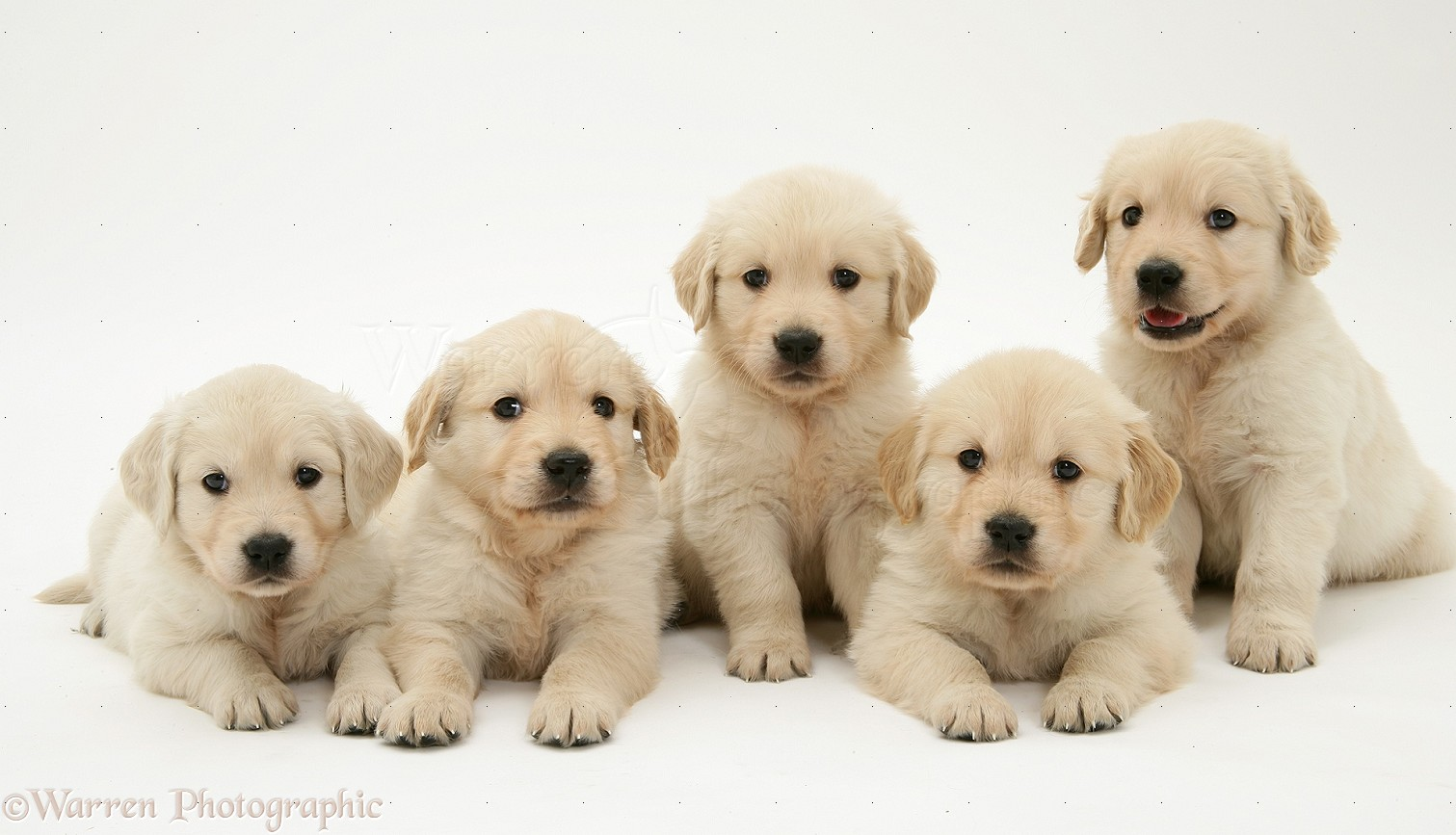 Dogs golden retriever puppies photo wp13418
