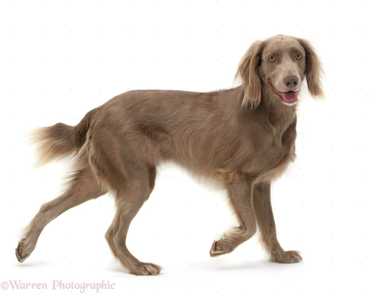 Image of: Fun Wp13438 Weimaraner Dog Max Parade Weimaraner Dog Walking Across Photo Wp13438