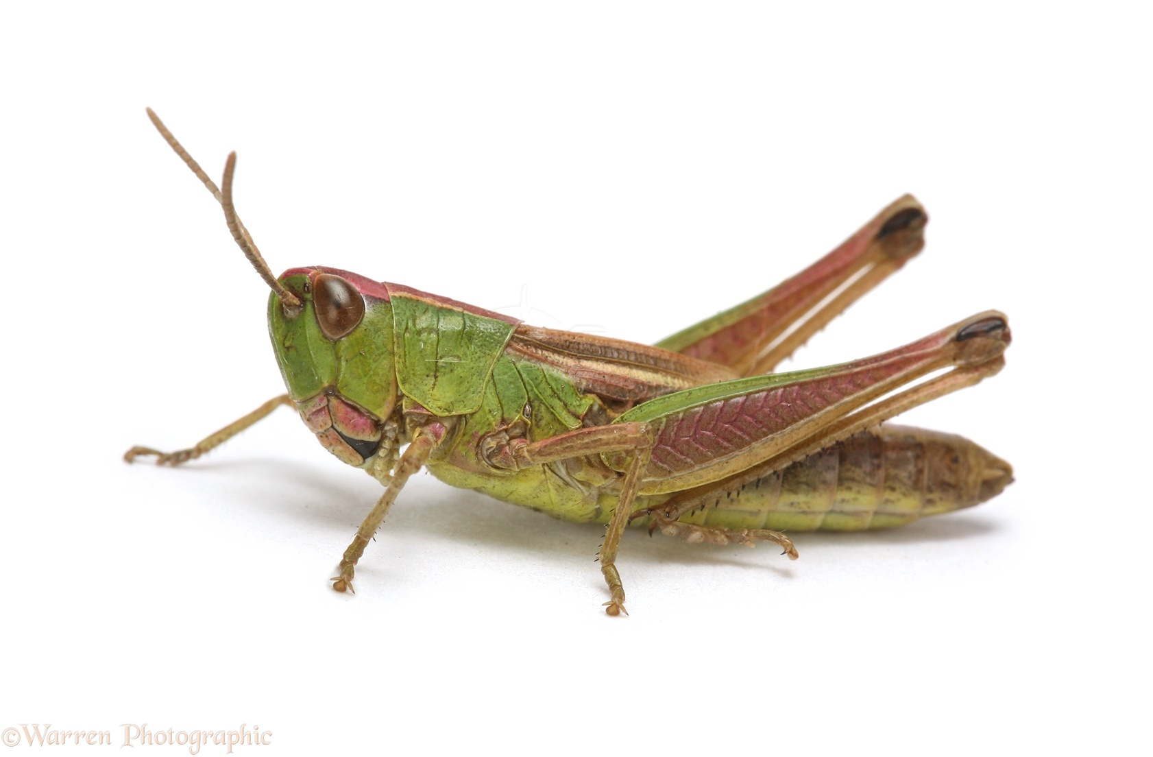 13498 Meadow Grasshopper white background