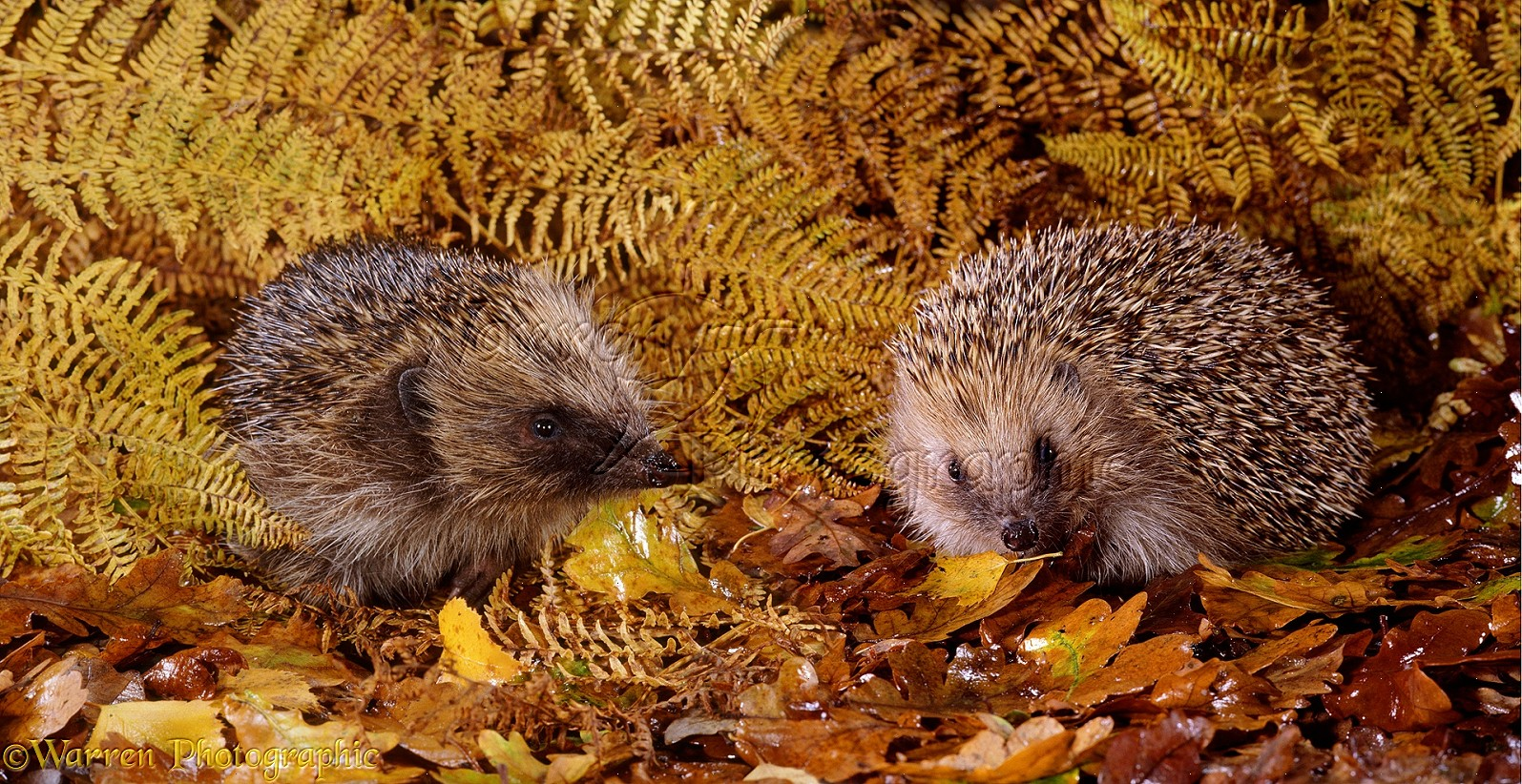 http://www.warrenphotographic.co.uk/photography/bigs/13509-Hedgehogs.jpg