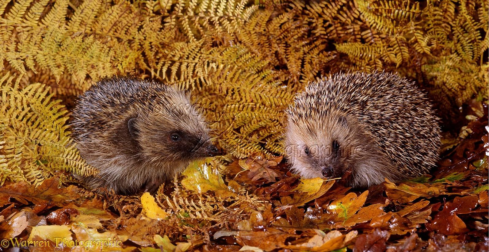 http://www.warrenphotographic.co.uk/photography/bigs/13509-Hedgehogs.jpg