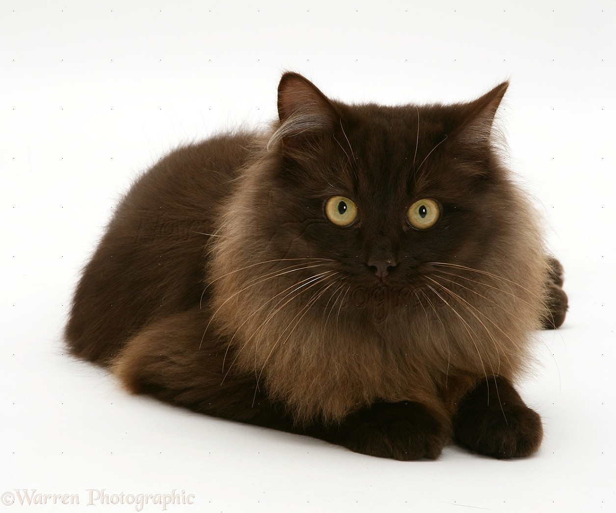 Fluffy dark chocolate Birman-cross cat photo - WP13512