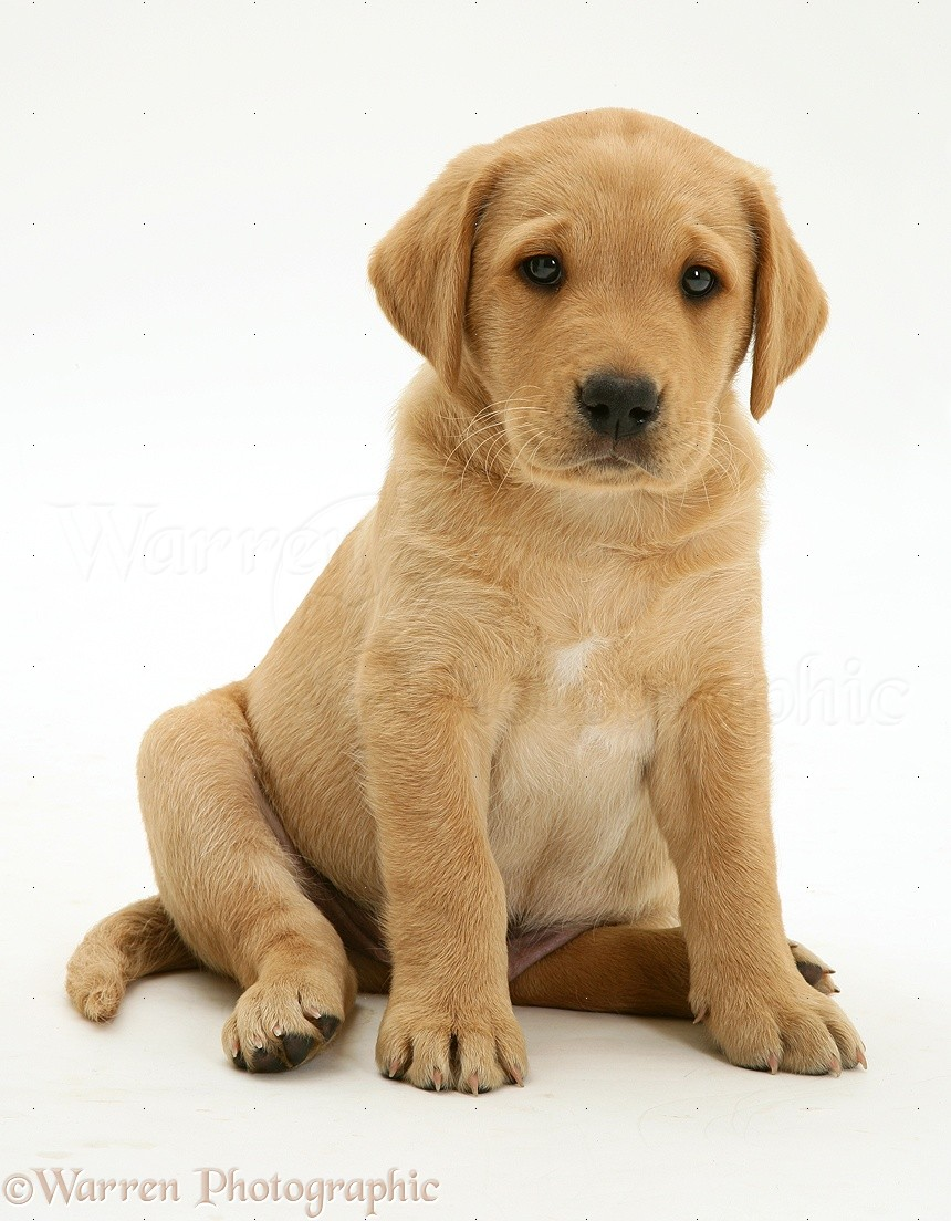 Dog yellow labrador pup sitting photo wp13525 for Puppy dog sitter