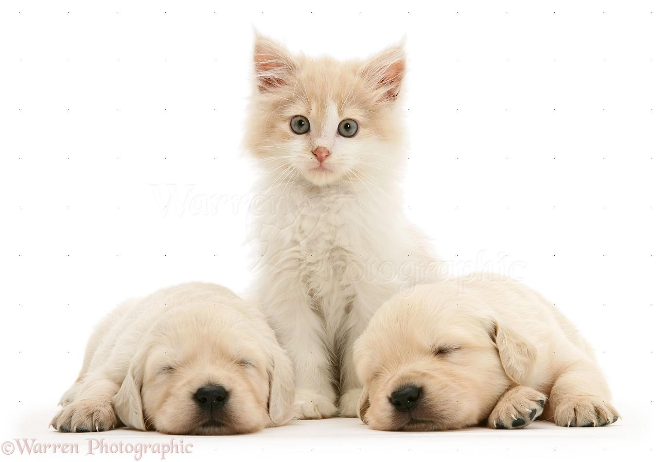 Cute Puppy falling asleep Golden retriever puppy  YouTube