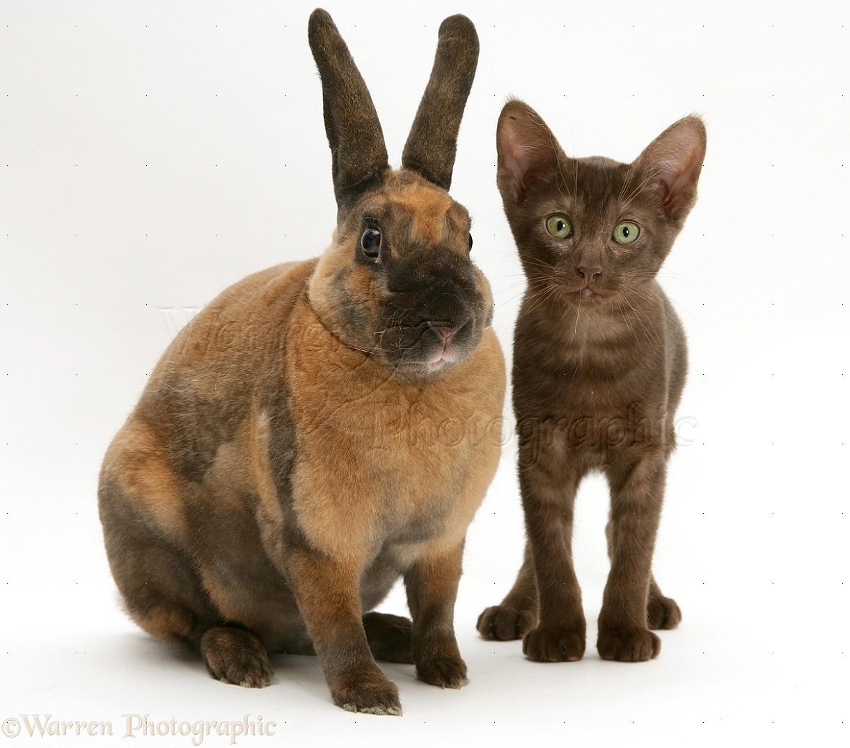 brown rabbit pictures