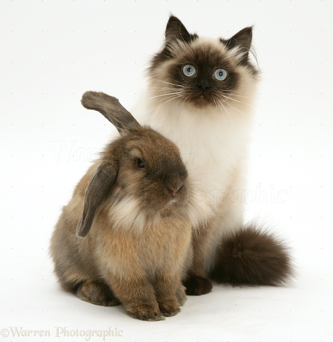 Domestic rabbit  Wikipedia