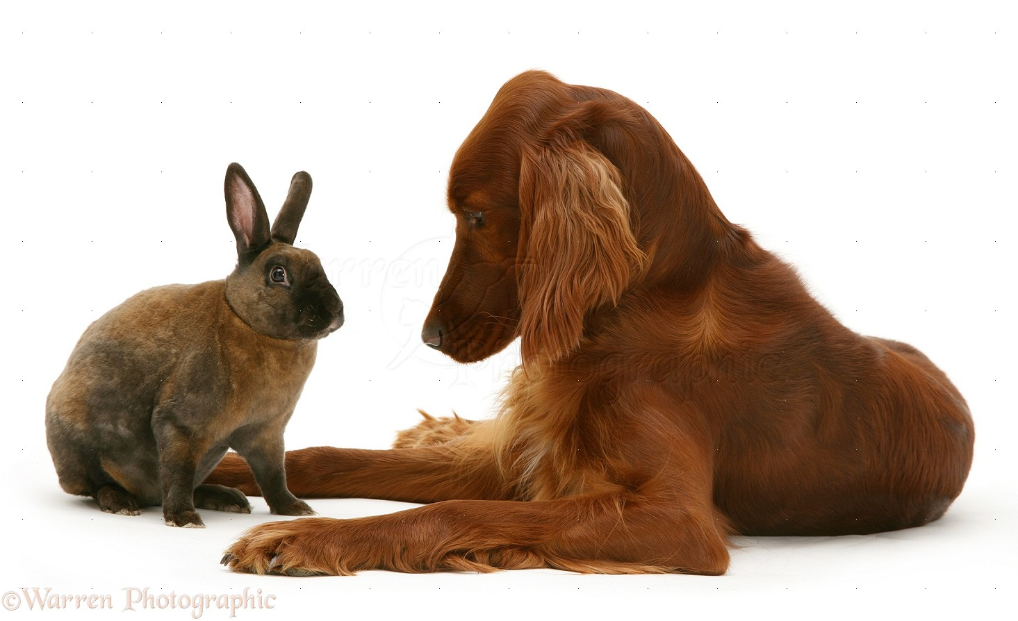 Pets: Irish Setter and sooty-fawn dwarf Rex rabbit photo ...