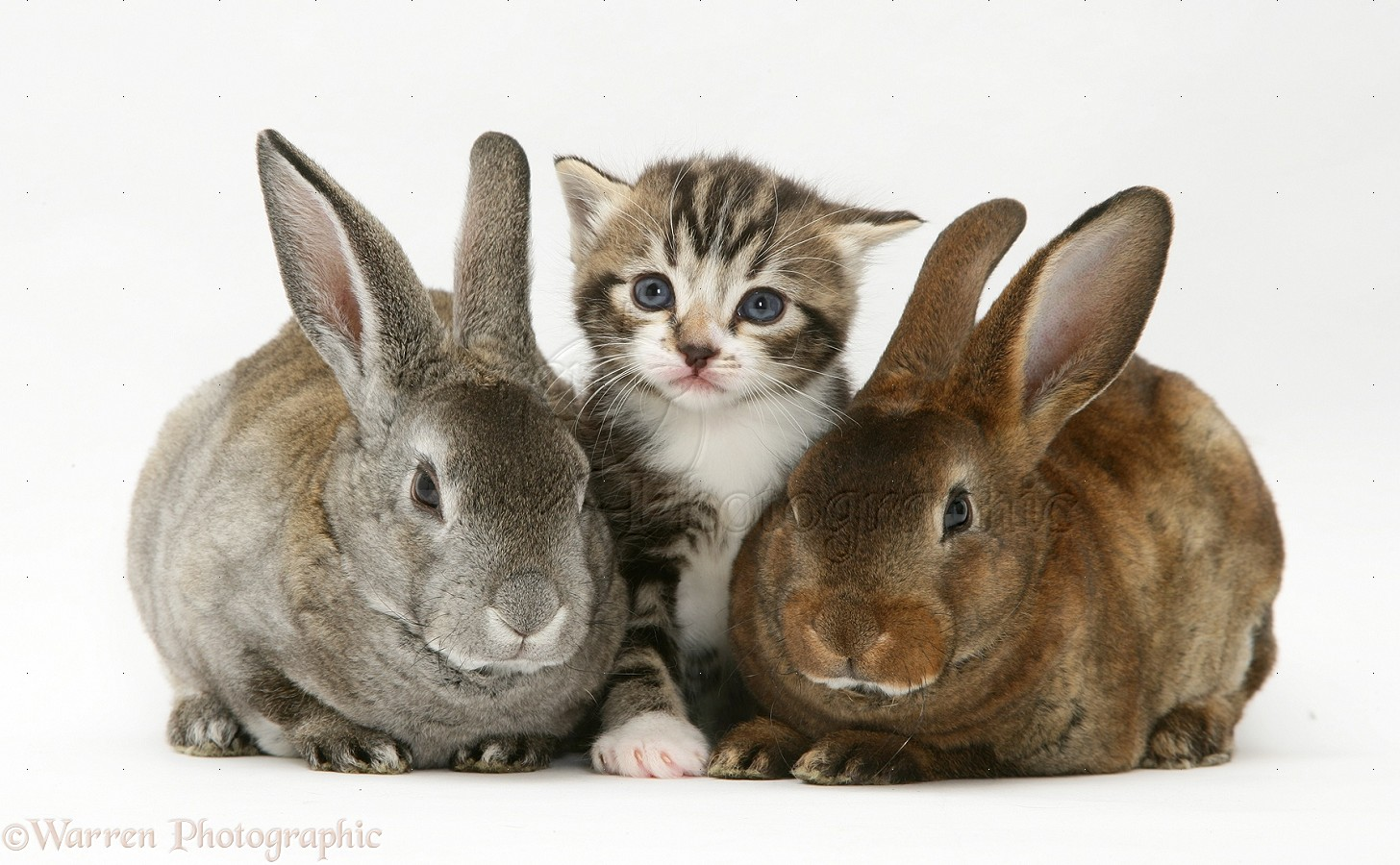 pets tabby kitten and two rabbits photo   wp13617