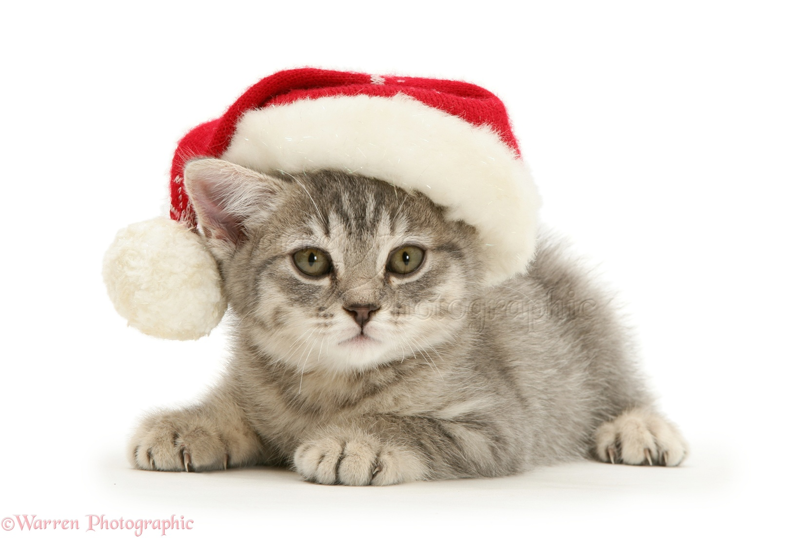 Wp13634 grey spice kitten wearing a father christmas hat