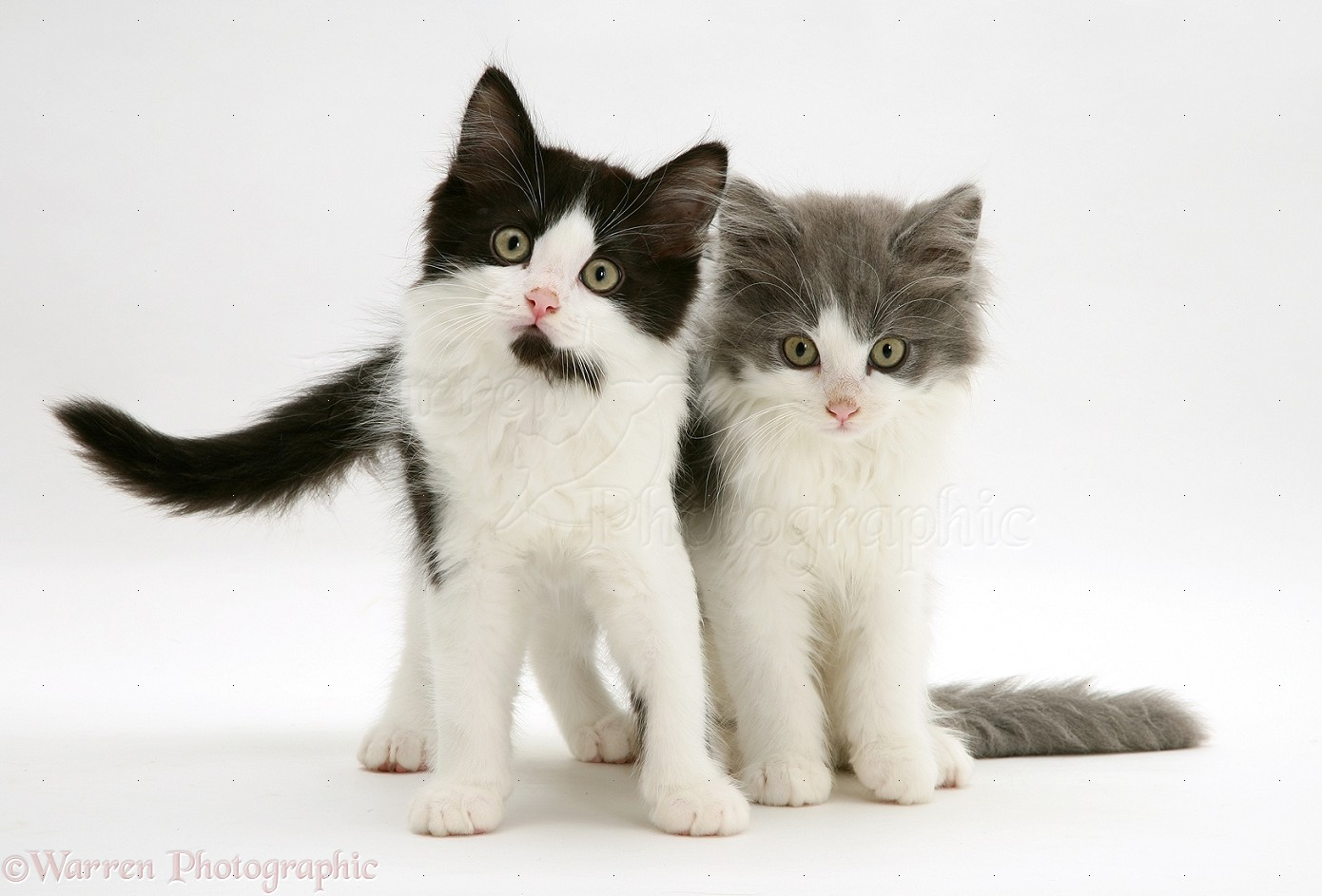 Black and white and grey and white Persian cross kittens photo