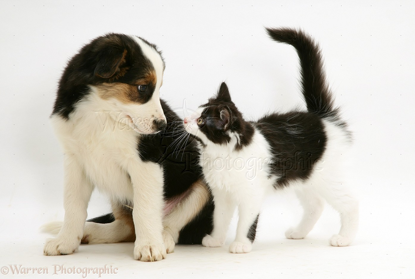 pets border collie puppy with a black and white kitten photo wp13768