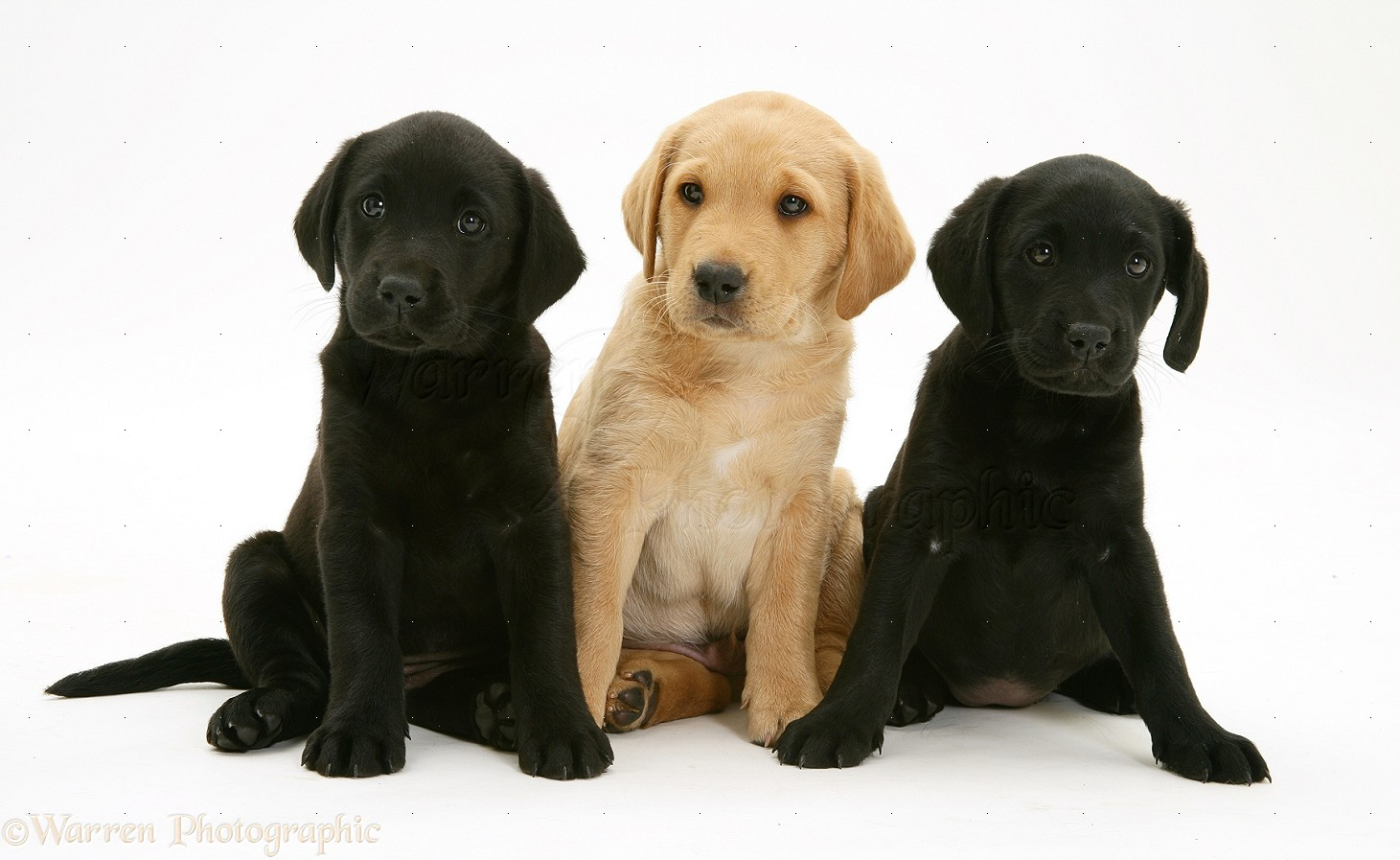 dogs labrador retriever pups photo wp13769