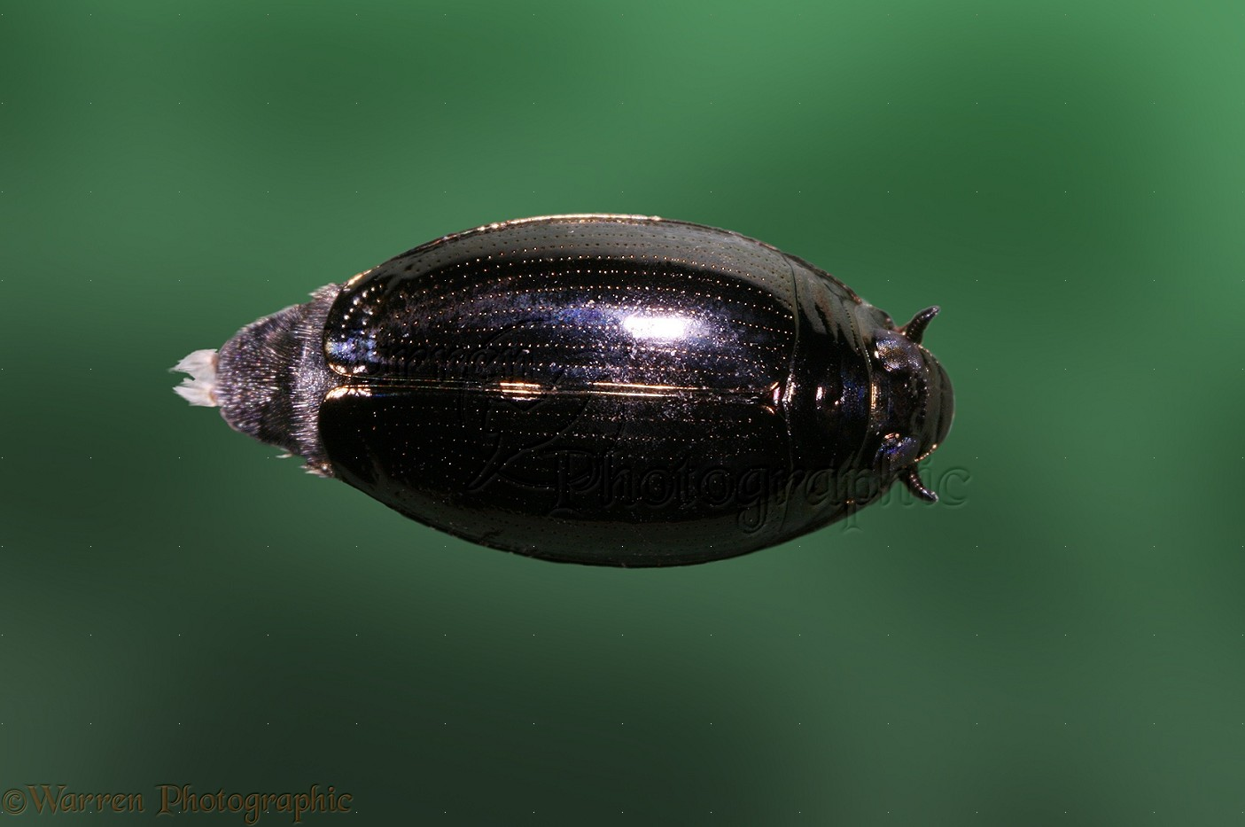Contact US >> Whirligig Beetle photo WP13812