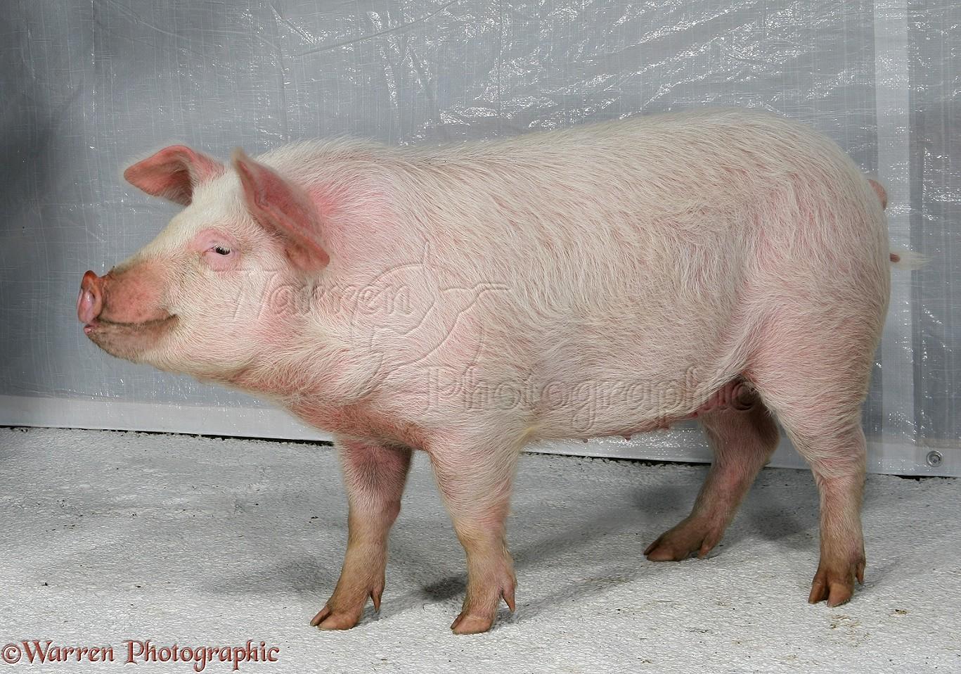 Pink piglets - photo#21