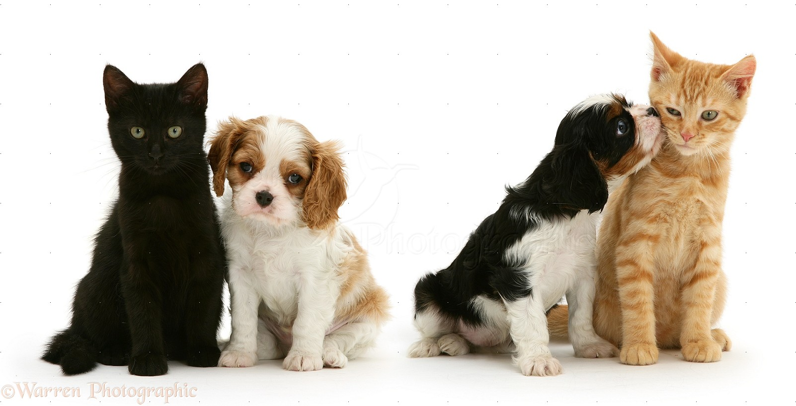 Pets Cavalier King Charles Spaniel Pups With Cats Photo
