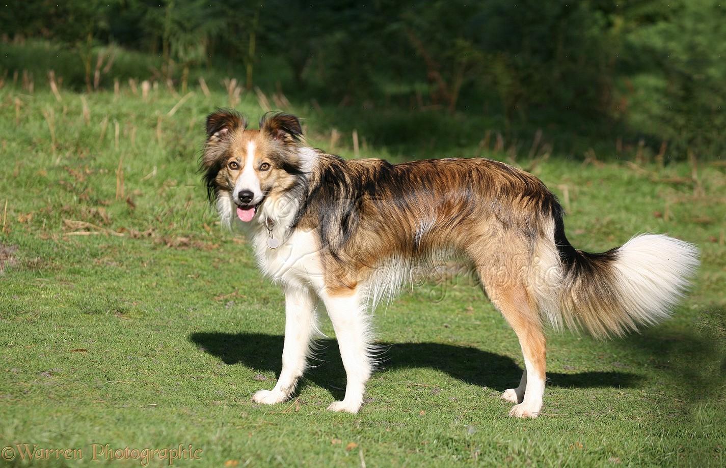 Dog Sable Border Collie Photo Wp13931