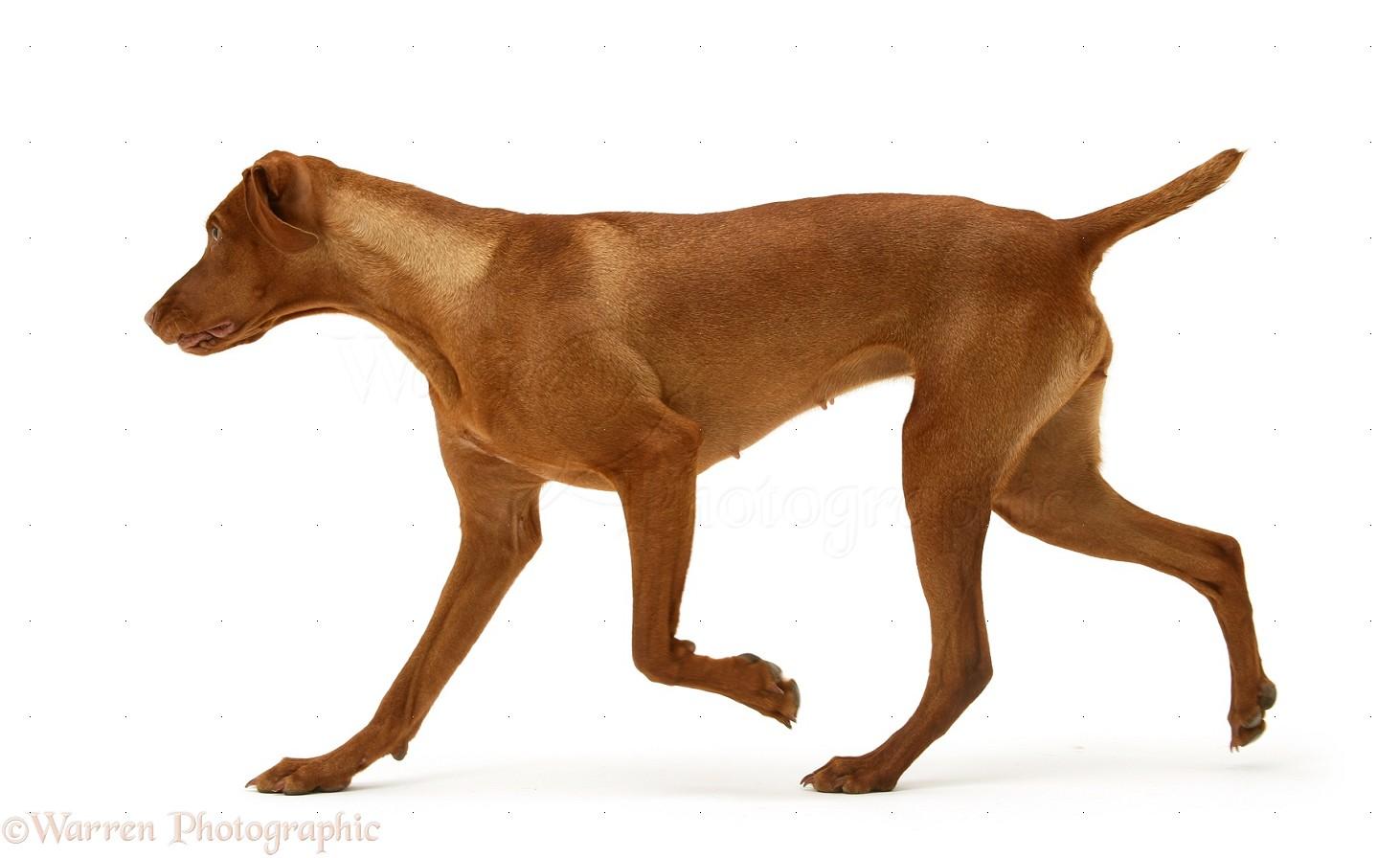 Dog Hungarian Vizsla Bitch Trotting Across Photo Wp13954