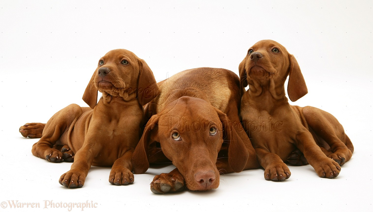 Adult Vizsla For Sale 76