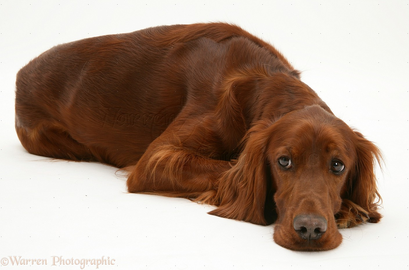 dog red setter bitch lying down chin on floor photo wp14004