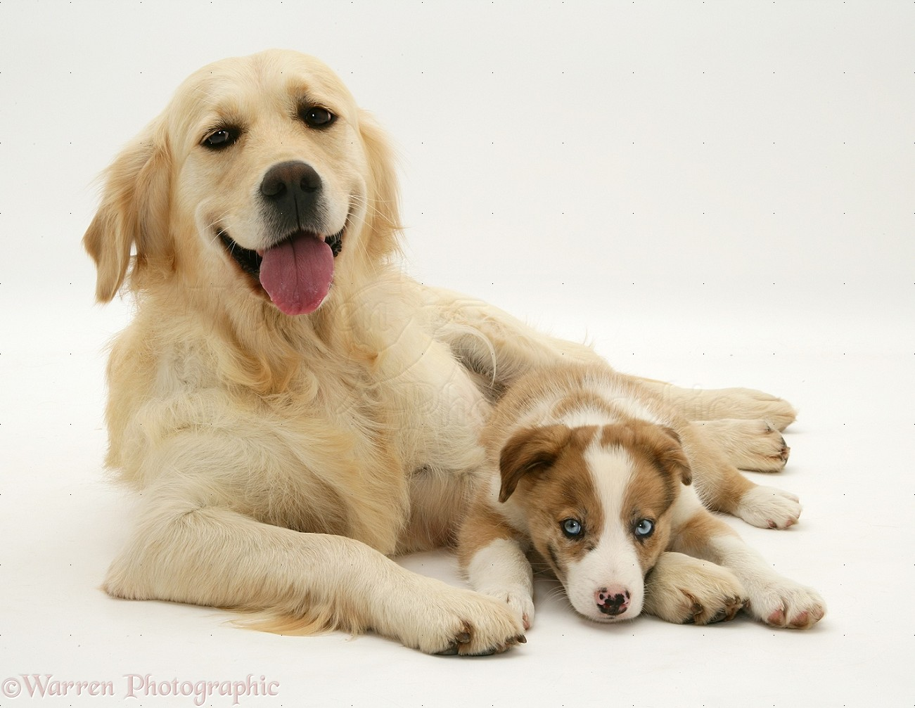 dogs golden retriever and border collie pup photo wp14039
