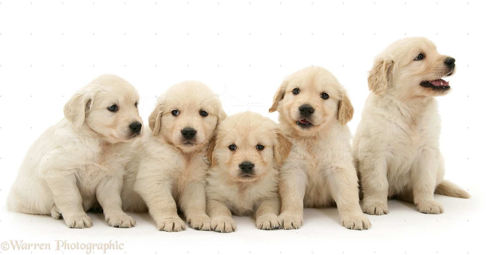 Wp14072 five golden retriever puppies in a row