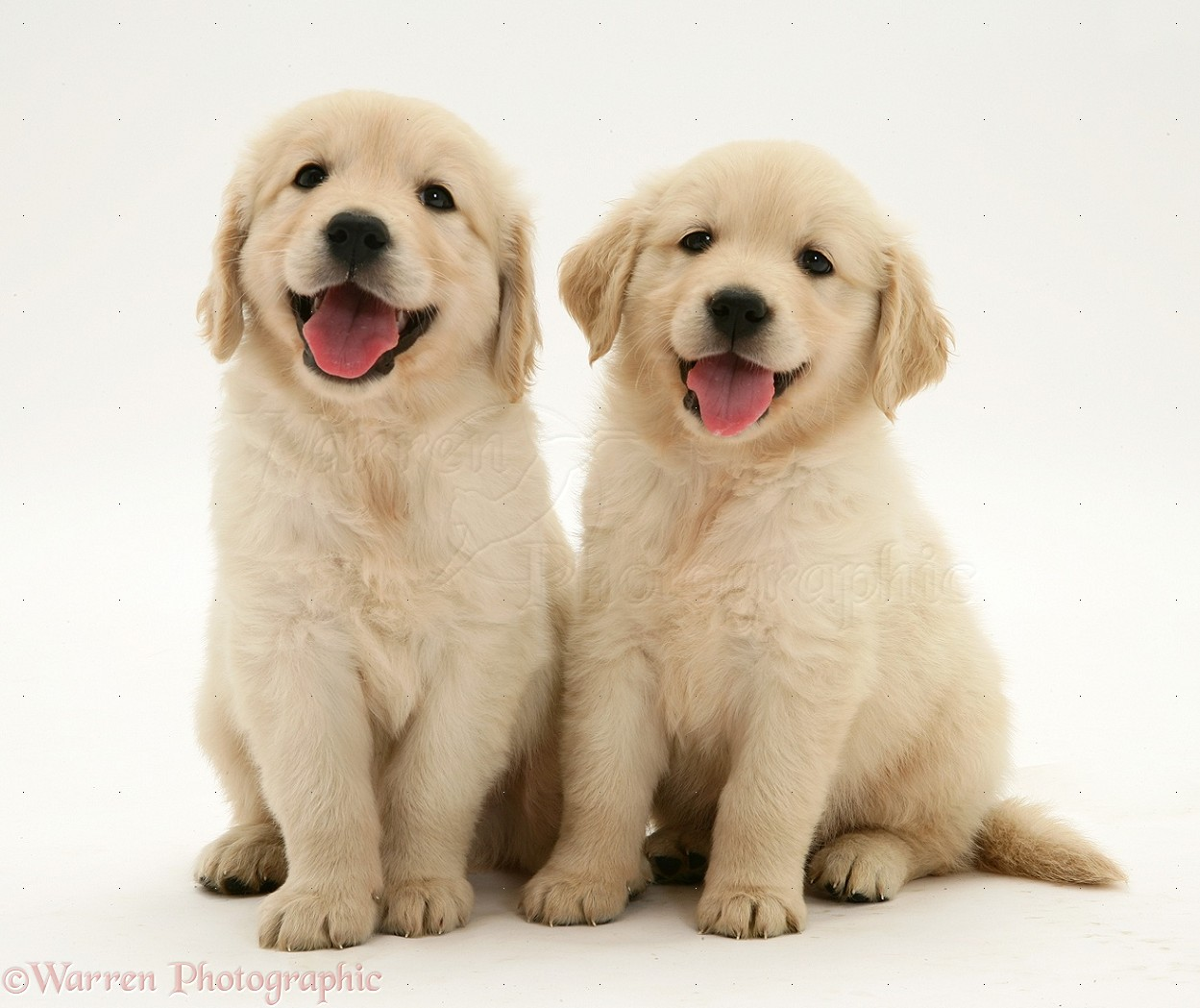 Dogs two golden retriever pups sitting photo wp14084 for Puppy dog sitter