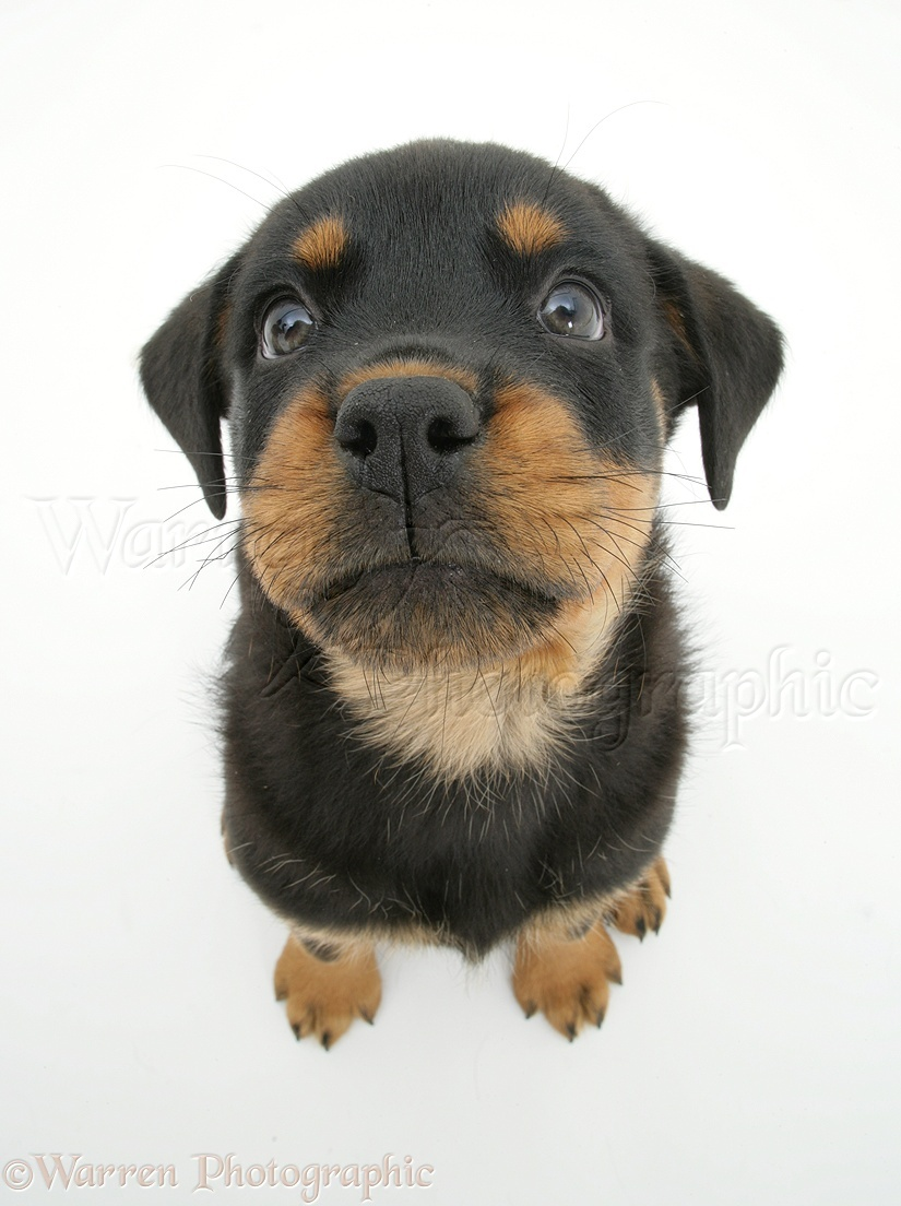 Dog: Rottweiler pup, 8 weeks old, from above photo WP14116