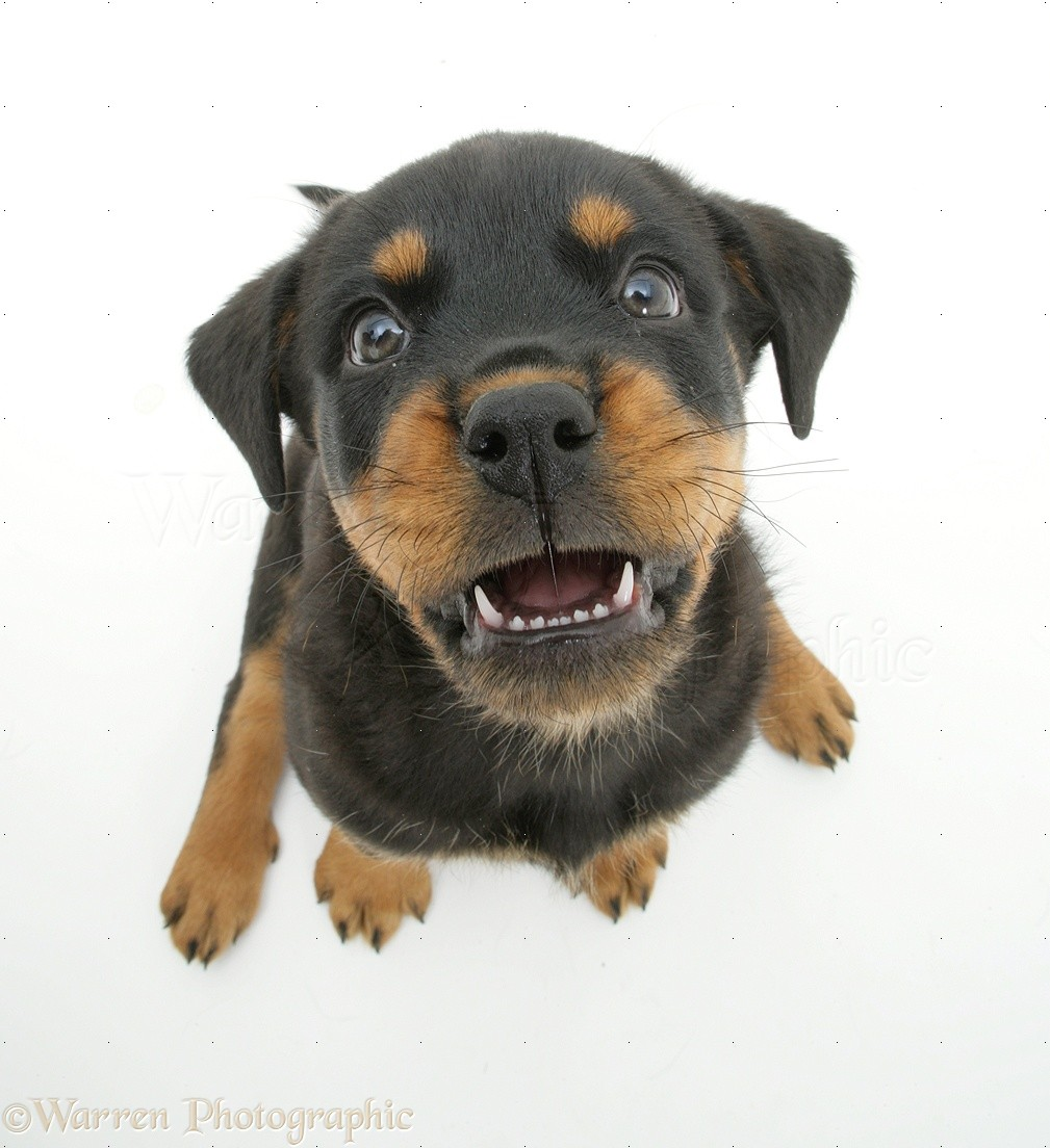 Dog: Two Rottweiler pup, 8 weeks old, from above photo WP14117