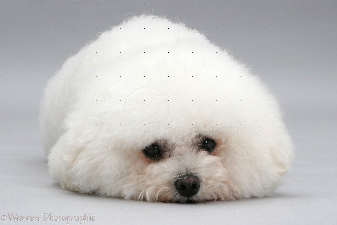 Dog Bichon Frise Lying Chin On Floor Photo Wp14155