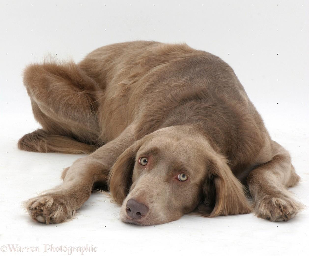 Long Haired Weimaraner Dog Lying Chin On Floor Photo Wp14171