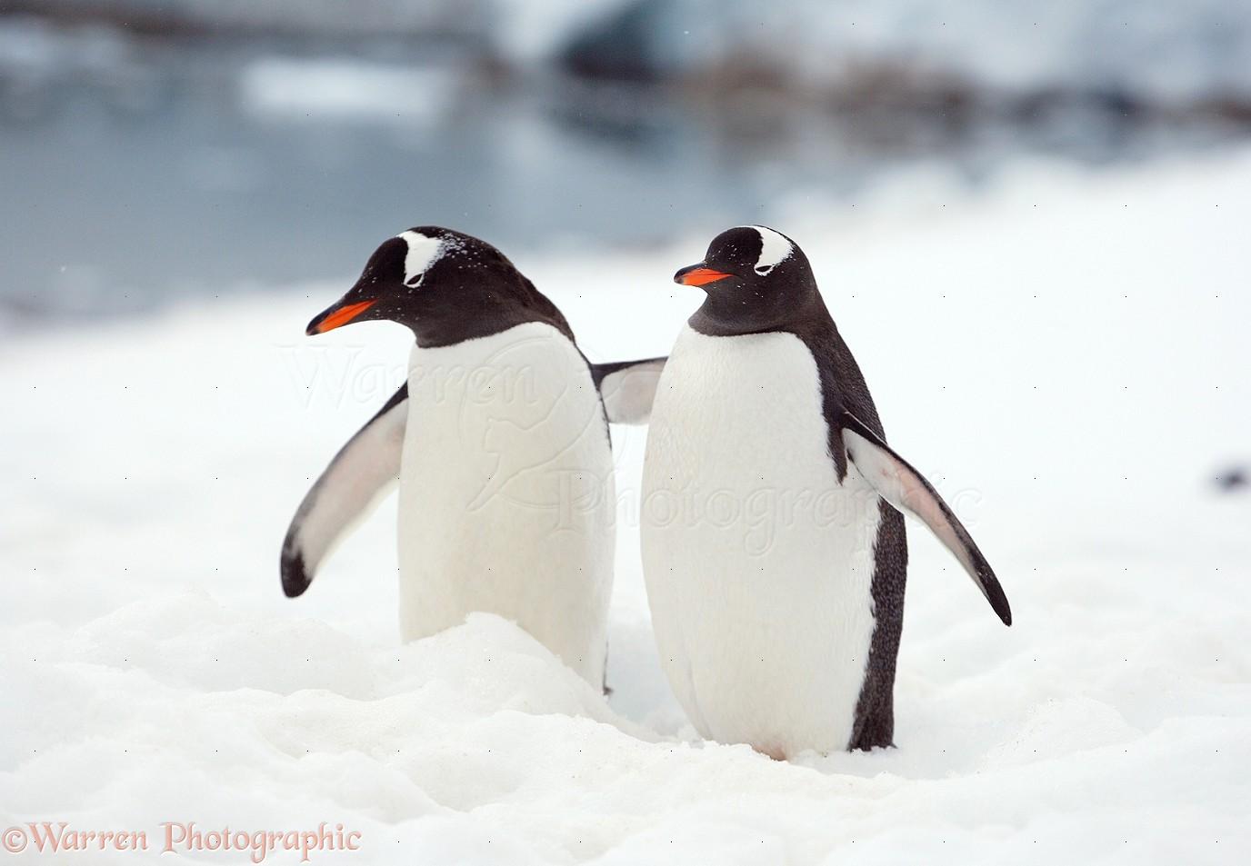 Gentoo Penguins Photo Wp14302