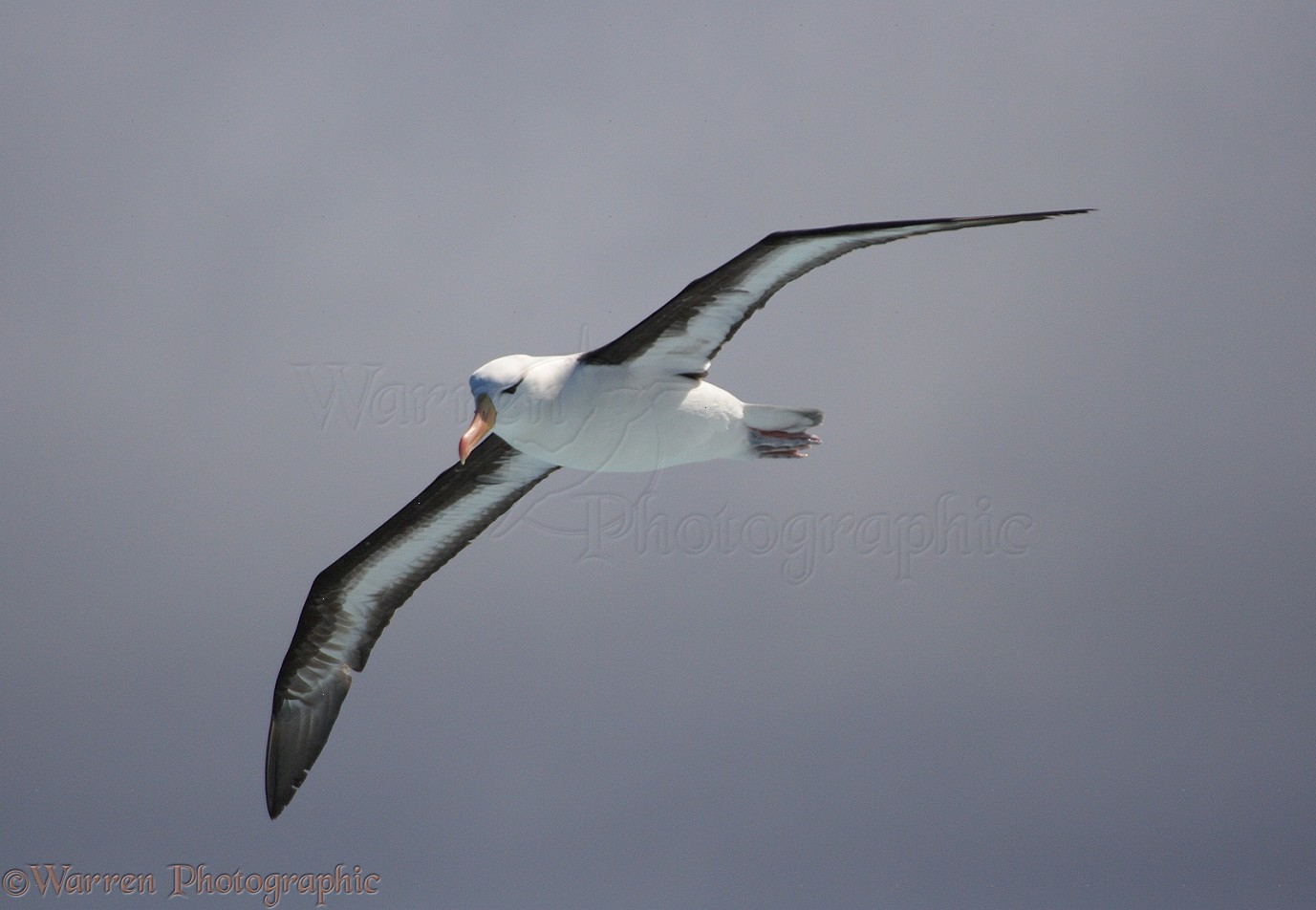 WP14316 Black-browed Albatross ( Thalassarche melanophris ). Southern ...