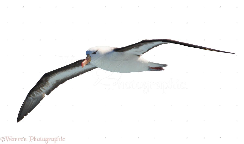 black browed albatross photo wp14317