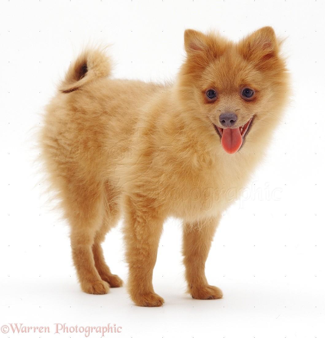 Cute White Pomeranian Puppy, Dibujos Para Colorear Gatito Con ...