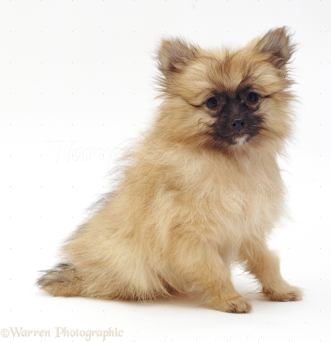 Pictures Pomeranian Haircuts Dog Breeds Picture | hnczcyw.com