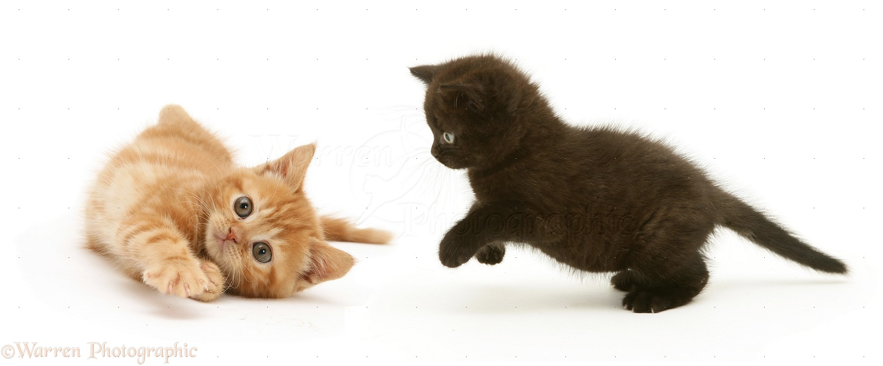 Black Kitten Pouncing A Ginger Kitten Photo Wp14547
