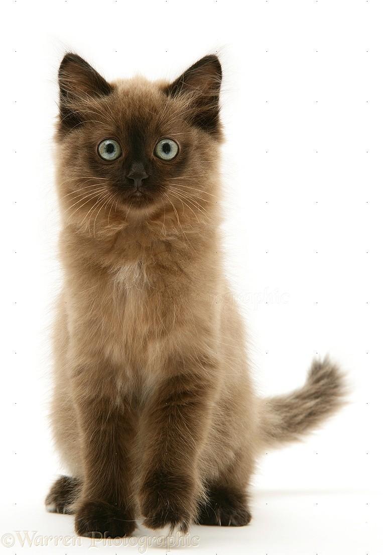 Chocolate Birman-cross kitten photo - WP14548