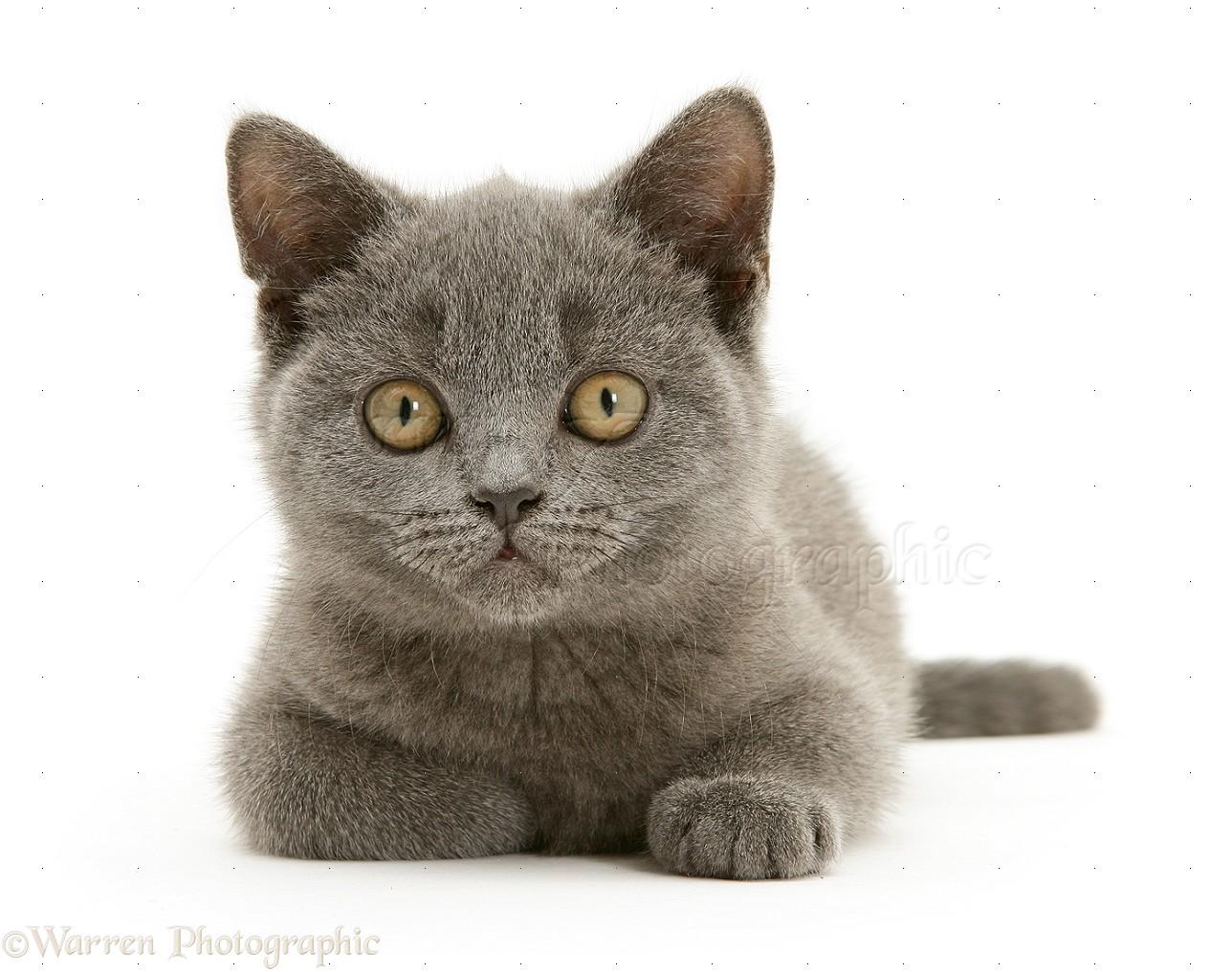 Cat British Blue Shorthair