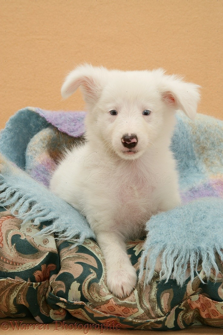Deaf blue-eyed white Shetland Sheepdog pup photo - WP14610